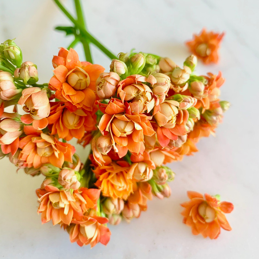 Cut Kalanchoe blooms