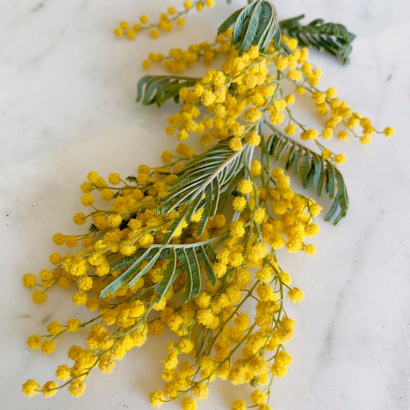 Mimosa Acacia...lemony love.