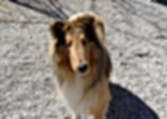 collies puppies for sale, beatrice collies, collie puppies, collie breeders, collies for sale, puppies for sale, collie puppies for sale in indiana