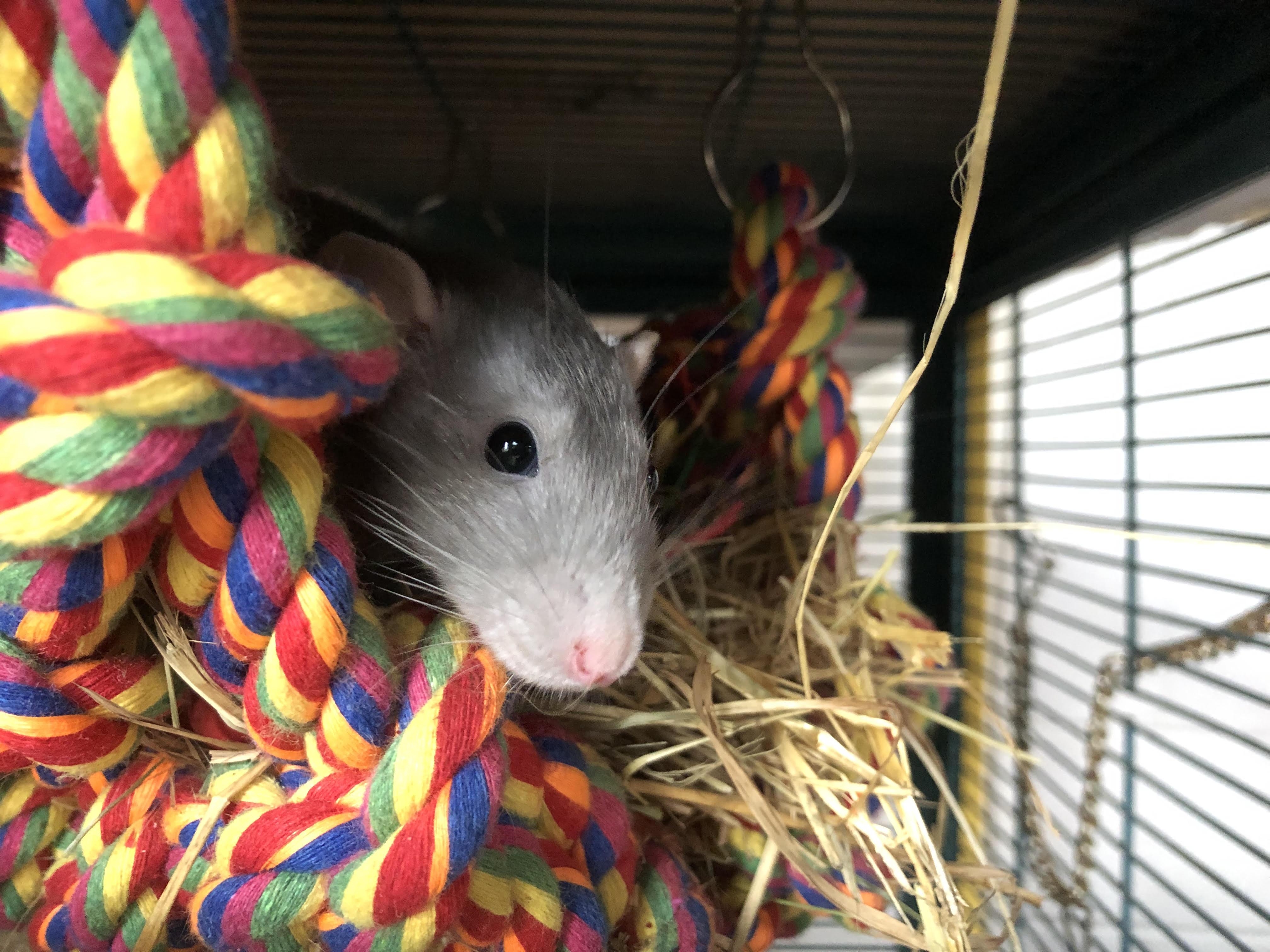 Bella, the Rat