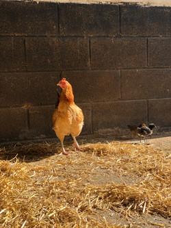 Chicks n Chickens