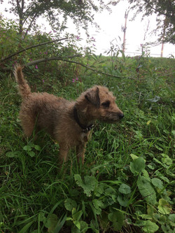 Betsy, our Lakeland Terrier