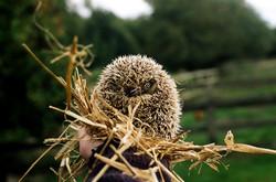 Harold, the Hedgehog