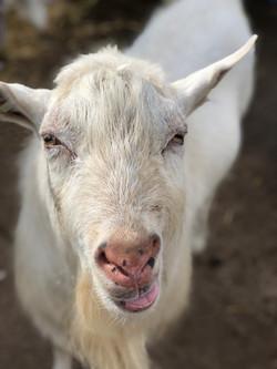 Peter, the Saanen Goat