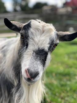 Bounty, the Pygmy Goat