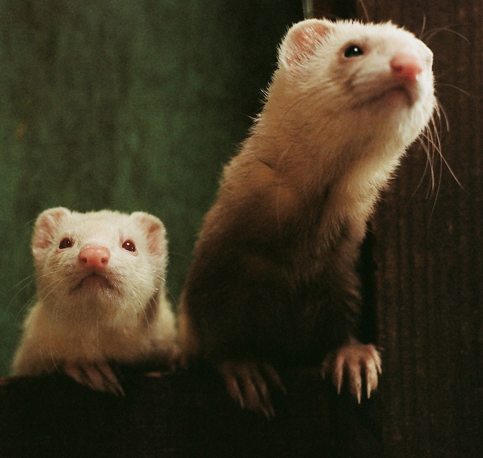 Sweet Pea and JJ - Ferrets