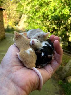 Mice: Oreo, Sandy, Marbles & Crew