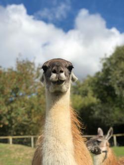 Preia, the Llama