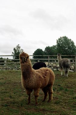 Vincent, the Alpaca