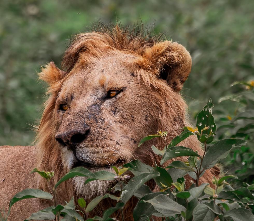 6 jul_lion.jpg