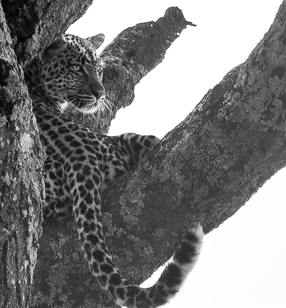 7 jun_leopard.jpg