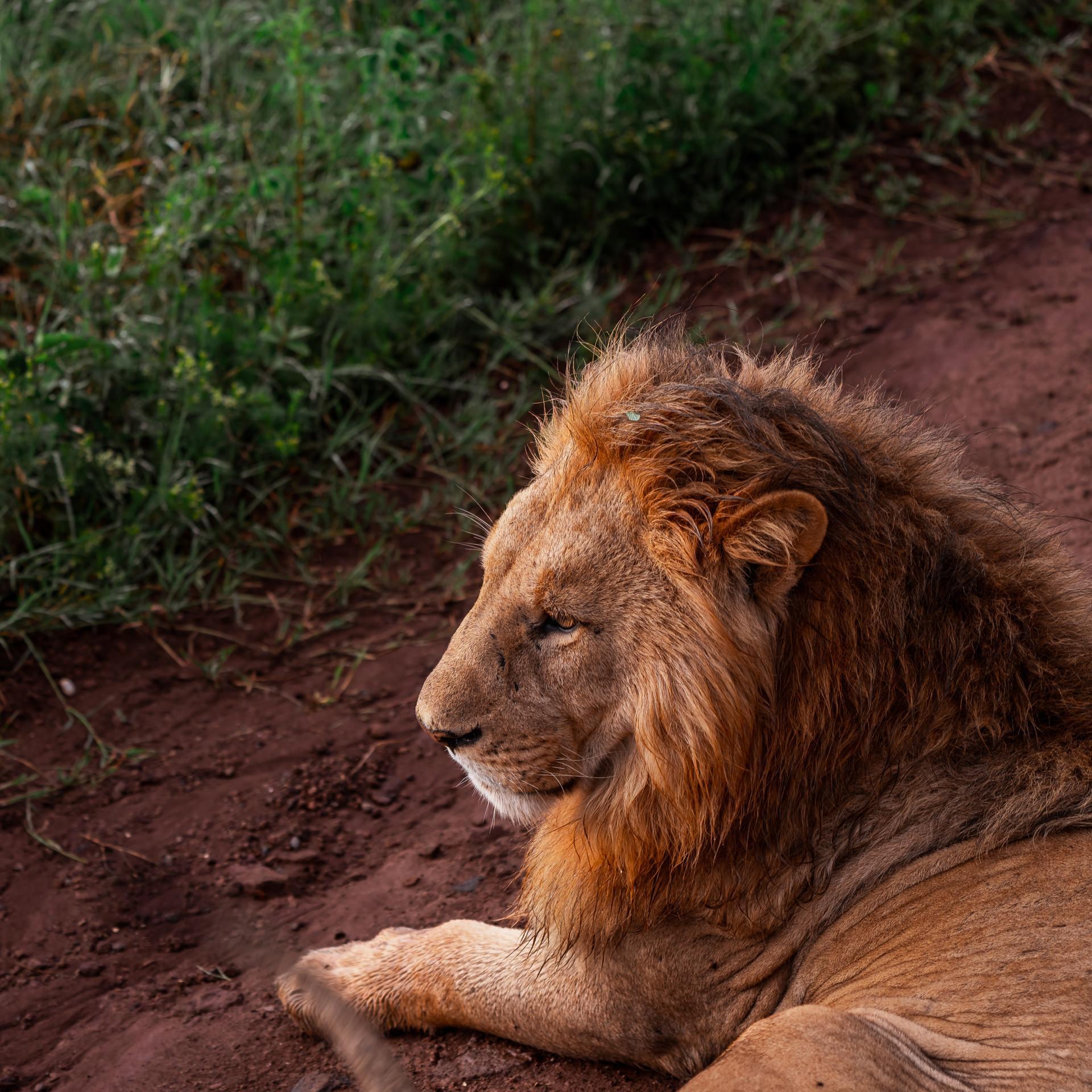17 jul_lion1.jpg