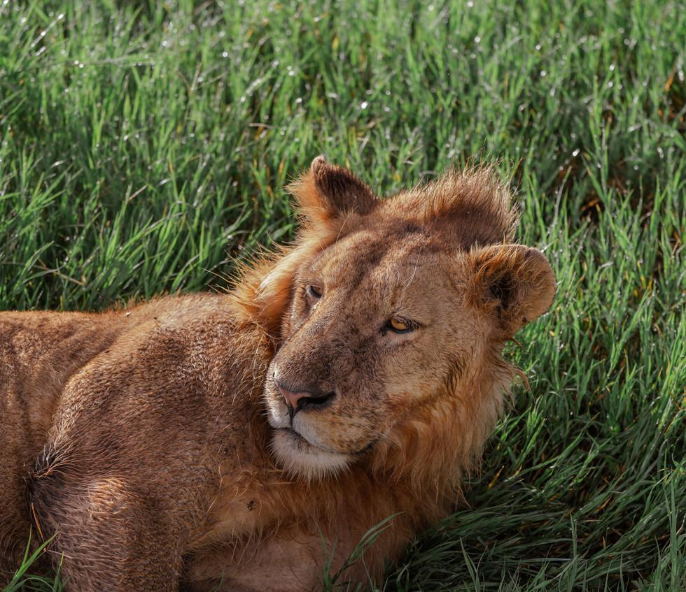 21 nov_lion.jpg