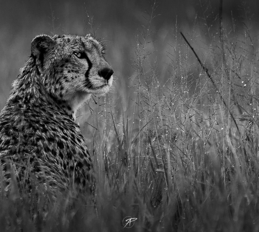 11 jun cheetah.jpg