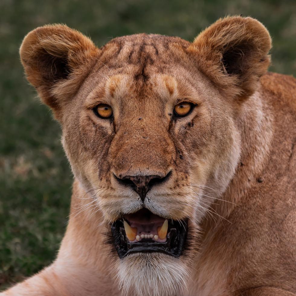 10jul_lioness-3.jpg