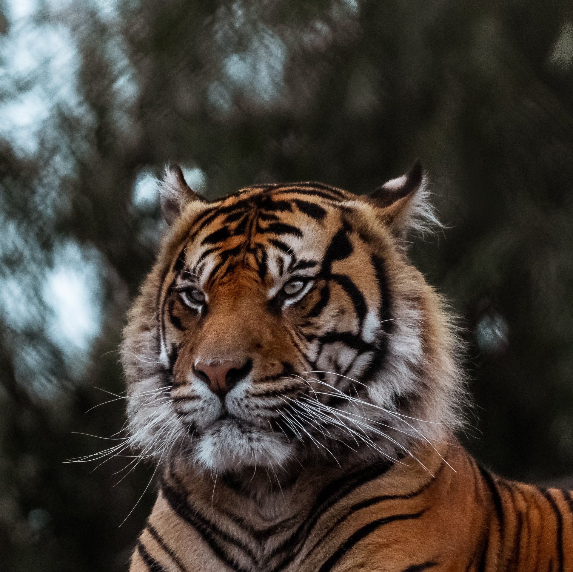 7sep_tiger.jpg