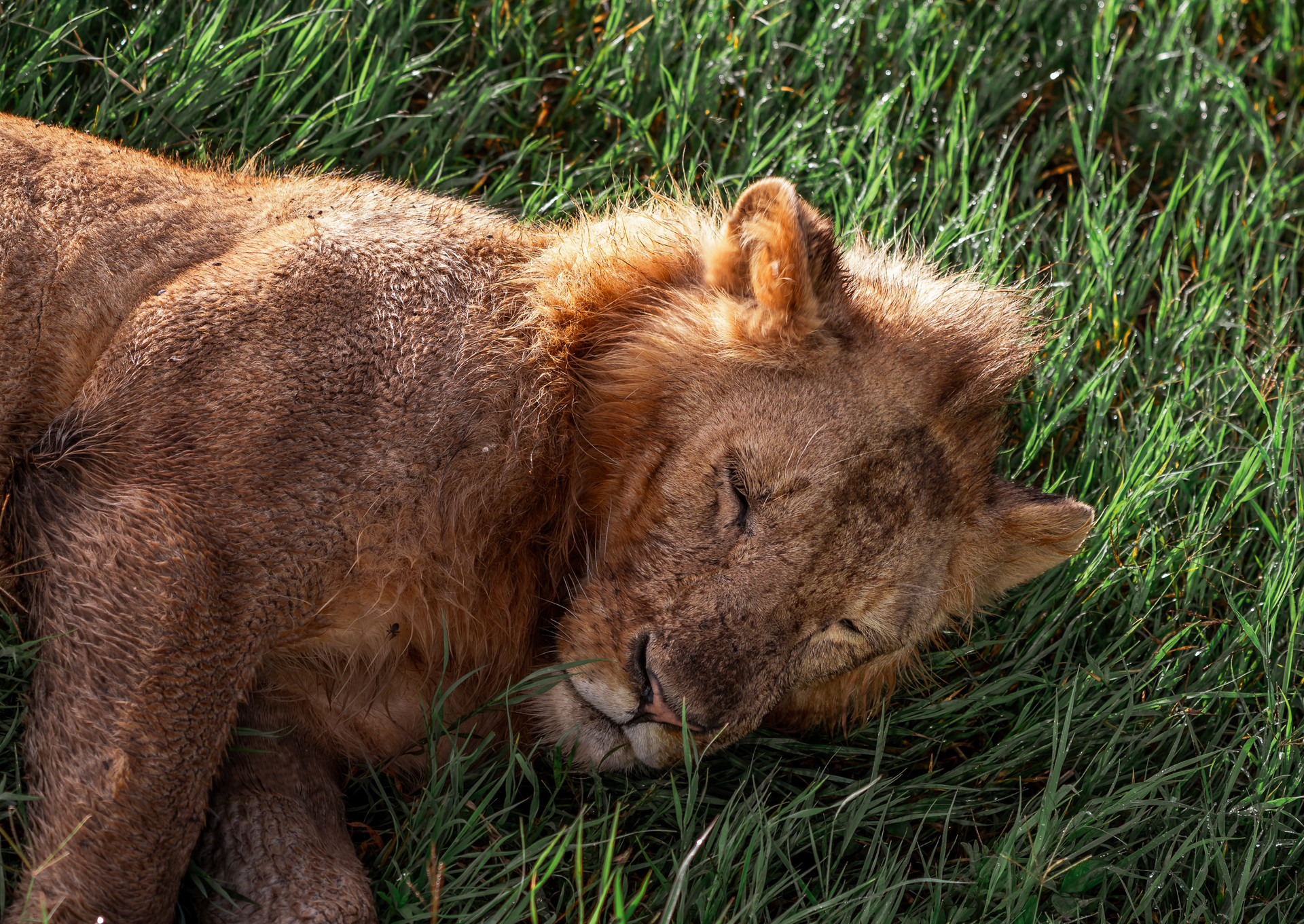 11 nov_lion.jpg