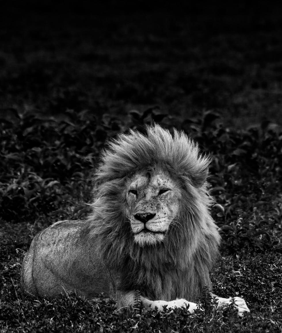 12 oct_lion.jpg