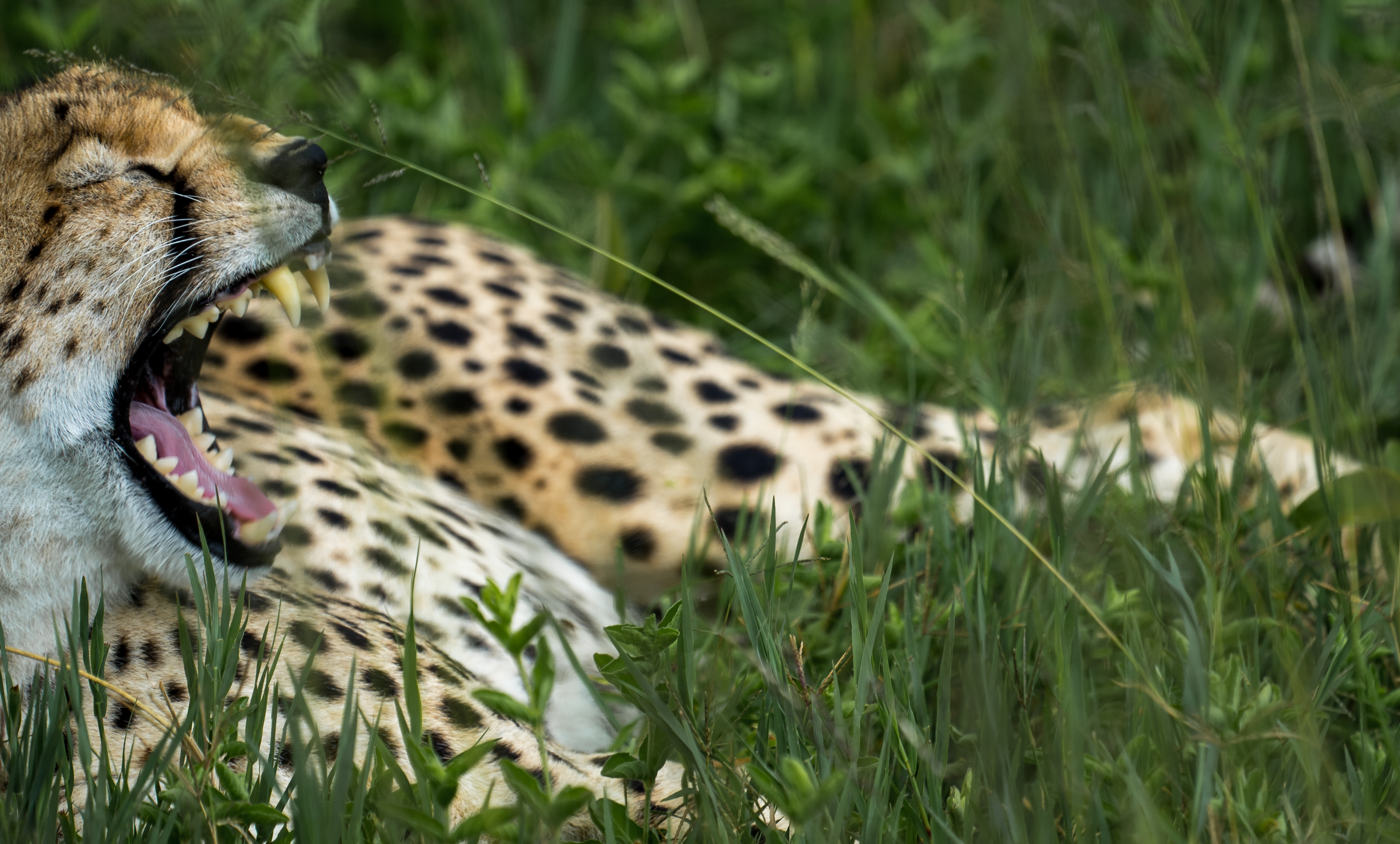 Website banner_cheetah