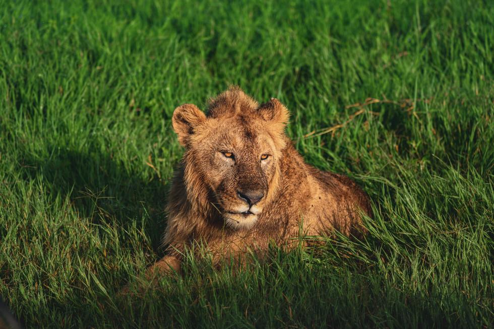 13jan_lion2.jpg