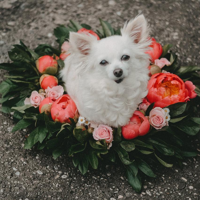 Chihuahua Prinzessin Mia
