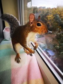 IS IT RIGHT TO KEEP A GREY SQUIRREL IN CAPTIVITY?