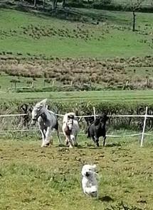 Before you buy a Shetland pony as a pet - Please read...