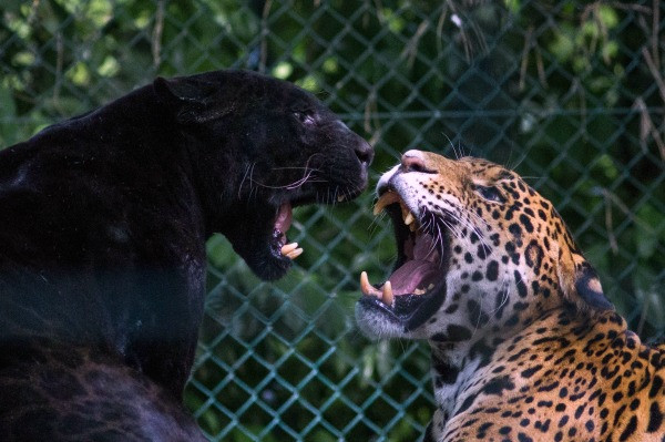 Panter Jaguar Conflict