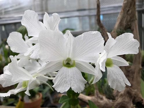 デンドロビューム サンデラエ ルゾニカム Dendrobium sanderae var. luzonicum