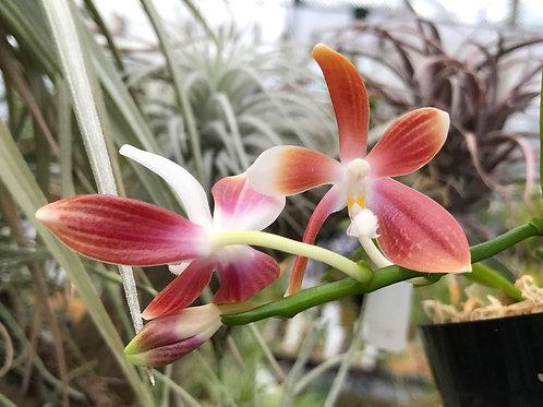 ファレノプシス テトラスピス Phalaenopsis tetraspis