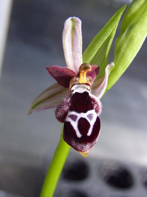 オフィリス レインホルディー Ophrys reinholdii