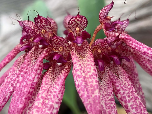 Bulbophyllum eberharditii,洋蘭,洋ラン,洋らん,育て方,種類,販売,通販,Shop,sell,plant,Orchid,Jewelry,Gem,Myanmar,Thailand,Vietnam ,China