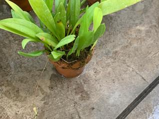 プレウロタリス トリプテランサ Pleurothallis tripteranthaの栽培相談