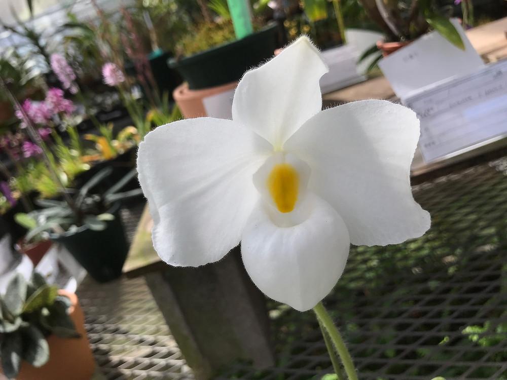 Paphiopedilum delenatii from alba