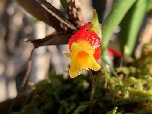 メディオカルカ ヴェルティージー インターメディウム 'マツシマ' Mediocalcar verteegii subsp. intermedium'M..`