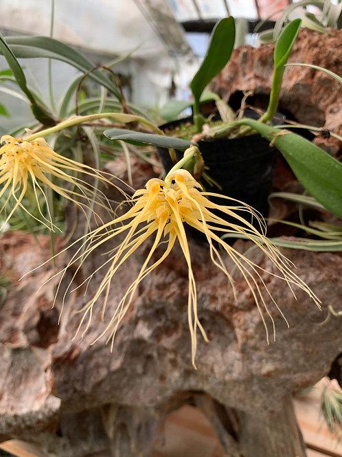 バルボフィラム バギナタム 'ステルス' Bulbophyllum vaginatum`Stealth'
