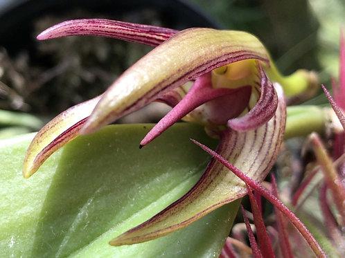 バルボフィラム チェイリ Bulbophyllum cheiri
