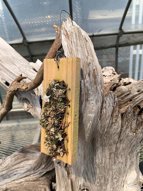 Eria extinctoria ,Conchidium extinctorium,洋蘭,洋ラン,洋らん,育て方,種類,販売,通販,熱帯植物,BORDER BREAK,Orchid,マツコ,ボタピー,東京,花屋,ボーダーブレイク,NHK,BRUTUS
