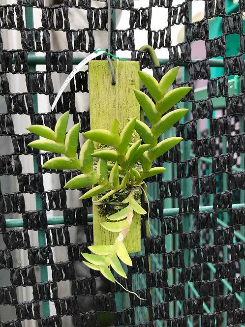 Dendrobium indivisum,洋蘭,洋ラン,洋らん,育て方,種類,販売,通販,花言葉,how to grow,Orchid,yahoo,facebook,amazon,楽天,Youtube,ebay,BRUTUS,ブルータス,無印,Wik