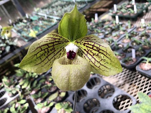パフィオペディラム マリポエンセ Paphiopedilum malipoense