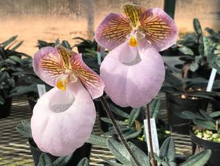 今年もパフィオペデュラムの花の時期が来ました。