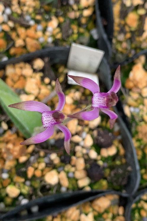 カラデニア ヒルスタNo.2 Caladenia hirta No.2