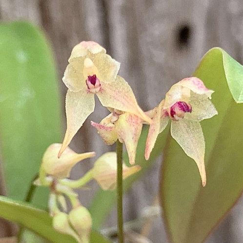 バルボフィラム 不明種 ラオス産 Bulbophyllum sp Laos