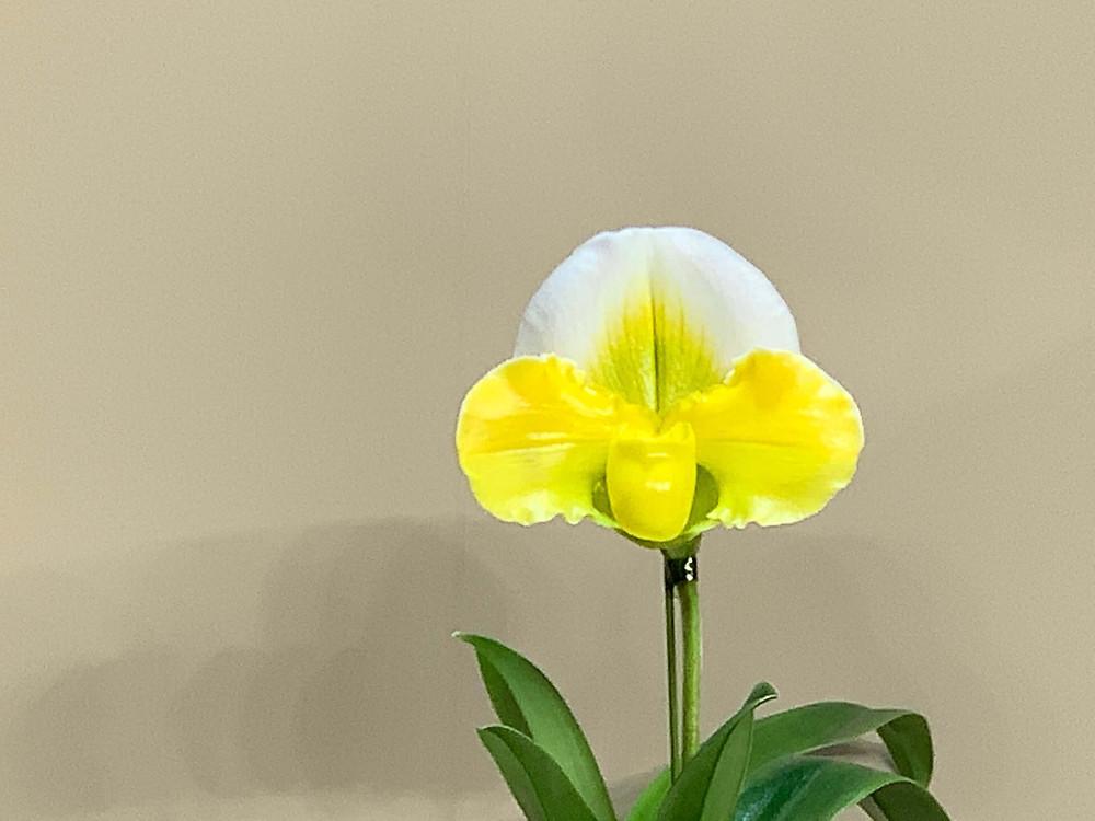 Paphiopedilum Tsukuba Sweet`Hisashi'