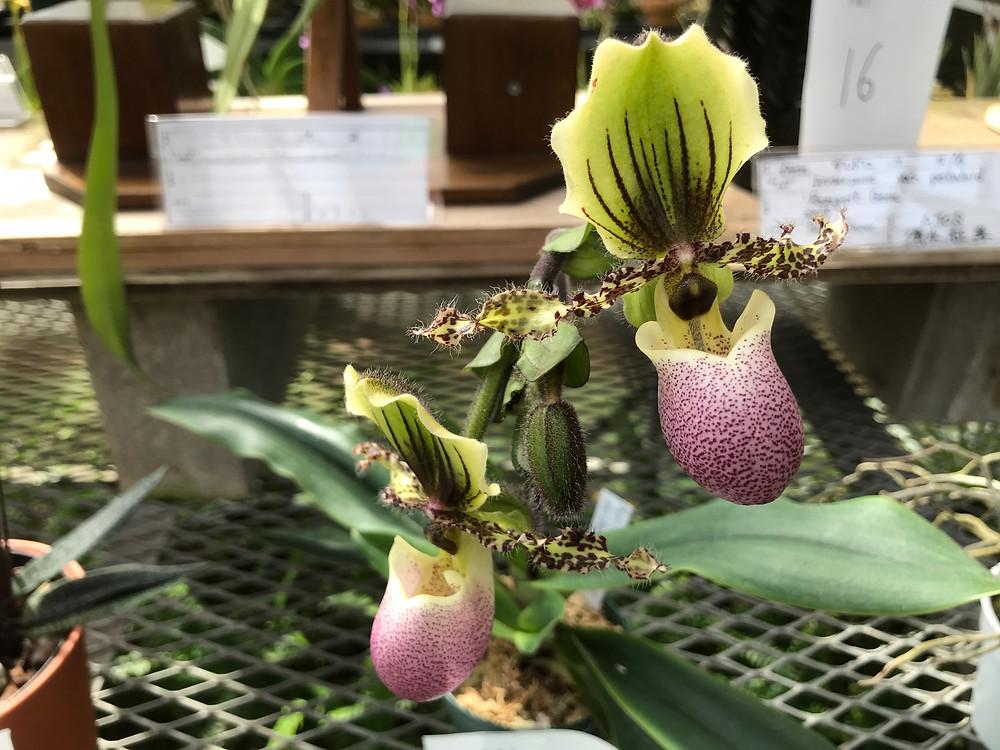 Paphiopedilum victoria-veginae