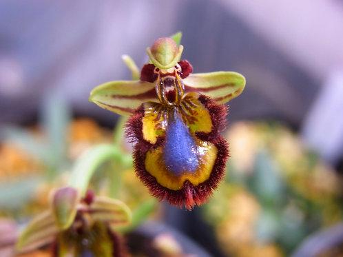 Ophrys speculum,洋蘭,洋ラン,洋らん,育て方,種類,販売,通販,花言葉,シンビジウム,の種類写真,山野草,多肉植物,エアープランツ,植物,動物,生物,Orchid,yahoo,facebook,amazon,楽天,Youtube,ニュ