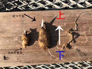 球根の植え方の質問