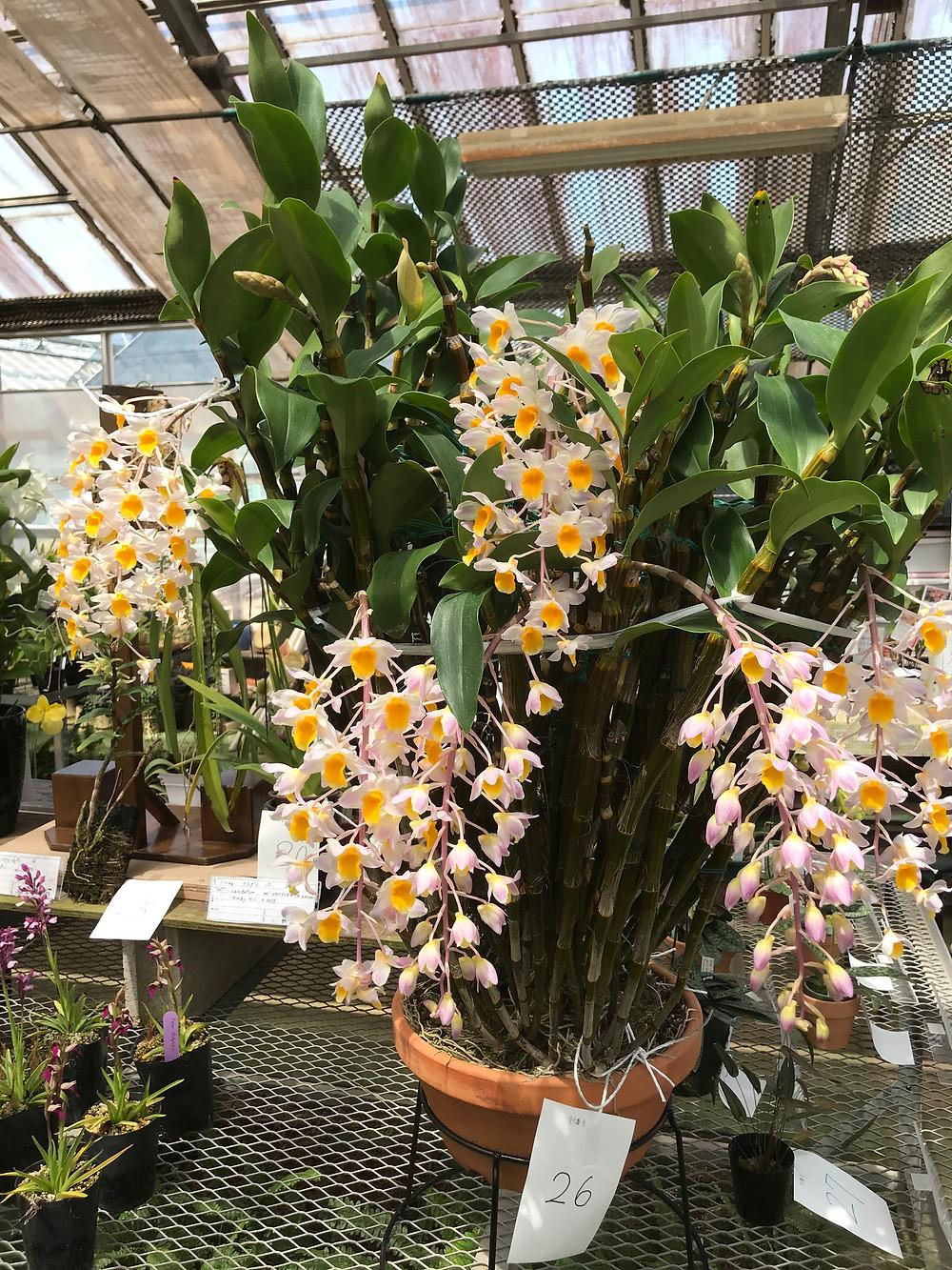 Dendrobium bronckartii