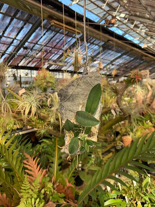 Cattleya cernua x sib select x(1H.Ixself) Fluorite&CalciteOrchid,Jewelry,Gem,Jewel,Cluster,Mineral,Fluorite,Amethyst,洋蘭,洋ラン,洋