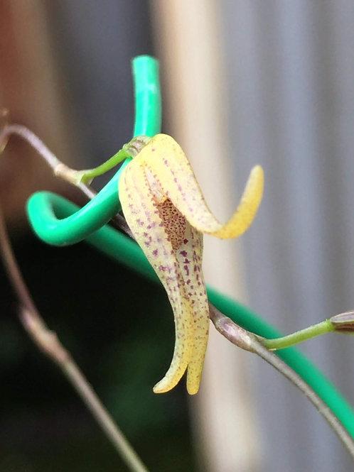 プレウロタリス トリプテランサ Pleurothallis tripterantha